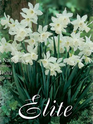 Miniatur-Narzisse 'Thalia' (Art.Nr. 596138)