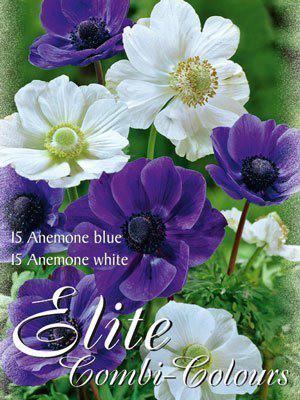 Edle Farbkombination mit Anemonen in den Farben Blau und Weiß (Art.Nr. 597994)