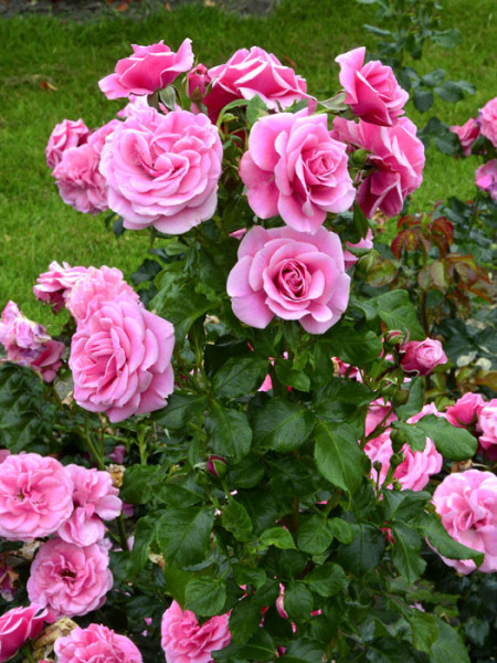 Rose Dornröschenschloss Sababurg