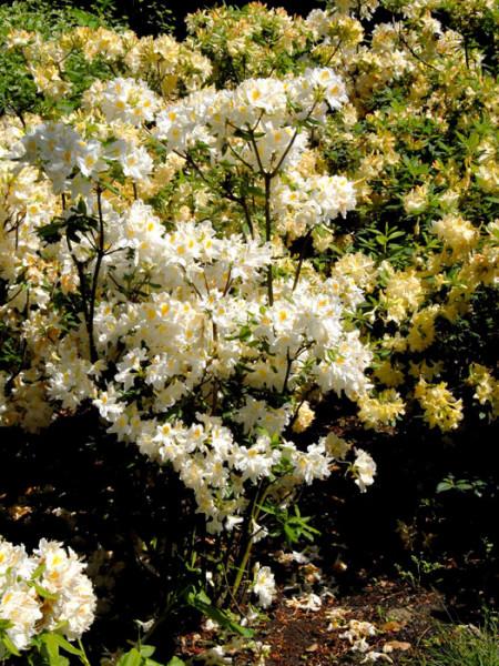 Rhododendron luteum 'Persil', sommergrüne japanische Gartenazalee