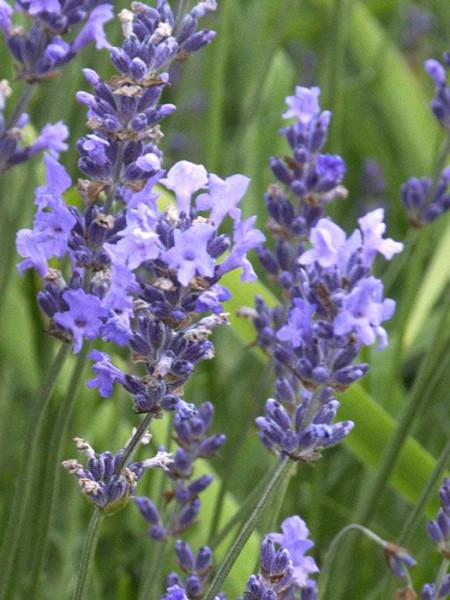 Garten-Lavendel Munstead Blüte