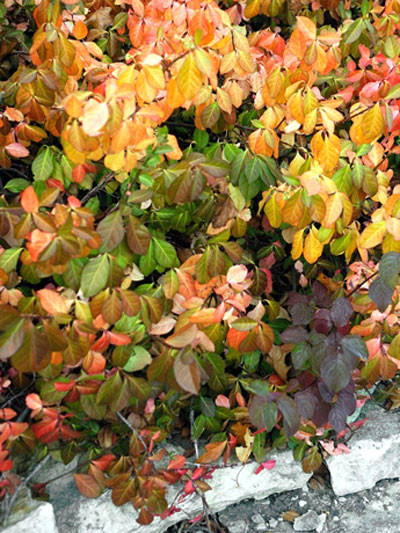 Die Herbstfärbung der immergrünen Kriechmispel