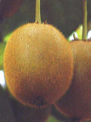 Frucht der weiblichen Kiwipflanze Hayward