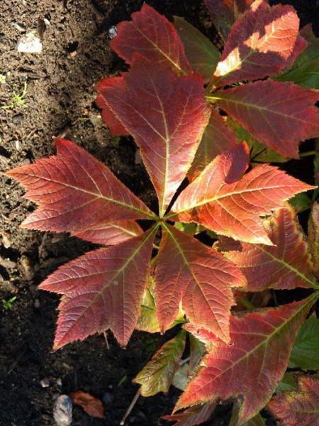 Rodgersia podophylla 'Rotlaub', Rotblättriges Schaublatt