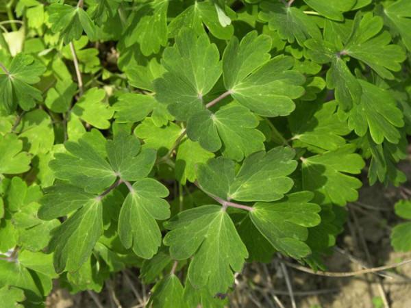 Aquilegia vulgaris (M), Waldakelei, heimische Akelei