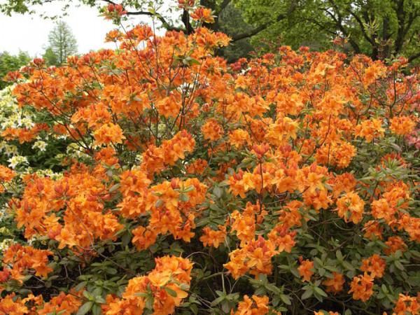 Rhododendron luteum 'Rumba', sommergrüne japanische Gartenazalee