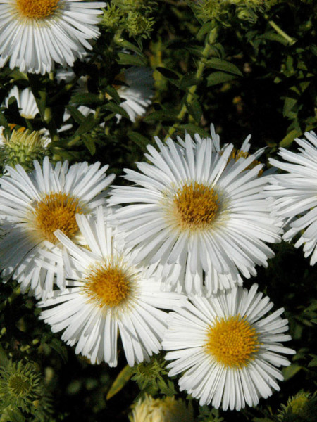 Aster novae-angliae 'Herbstschnee', Raublatt-Aster