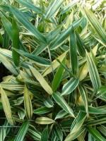Sasaella glabra (masmuneana) 'Albostriata', Gestreifter Zwerg-Bambus