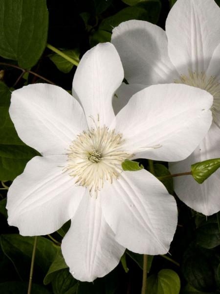 Schneeweiße Blüte der Clematis 'Madame le Coultre'