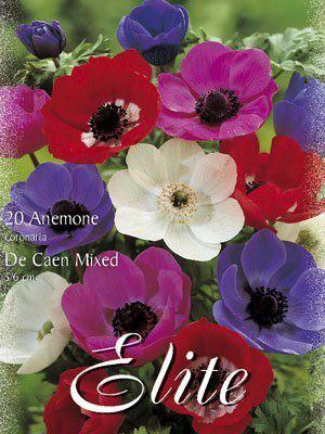 Anemone De Caen-Mischung (Art.Nr. 596412)