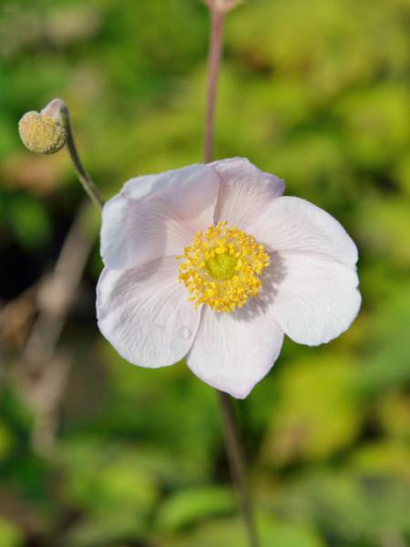 Zarte Einzelblüte der Herbstanemone 'Robustissima'