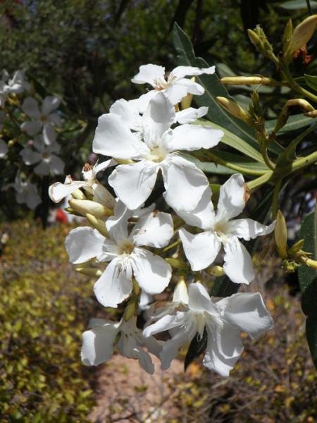 Nerium oleander, Oleander**