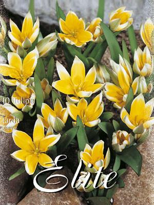 Botanische Tulpe 'Tarda' (Art.Nr. 595682)