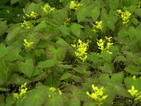 Blatt und Blüte der Elfenblume 'Frohnleiten'