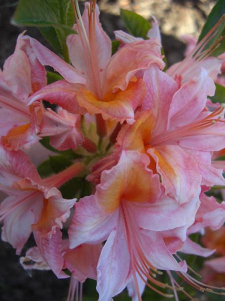 Rhododendron viscosum 'Quiet Thoughts', sommergrüne japanische Gartenazalee