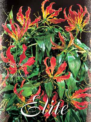 Ruhmeskrone, Gloriosa rothschildiana (Art.Nr. 521230)