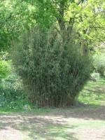 Fargesia nitida - neue Saat - Glänzender Schirm-Bambus