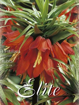 Kaiserkrone 'Rubra', Fritillaria (Art.Nr. 596758)