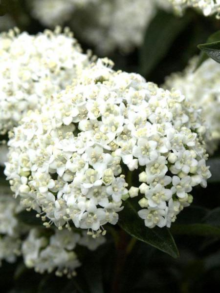 Lorbeer-Schneeball Blüte