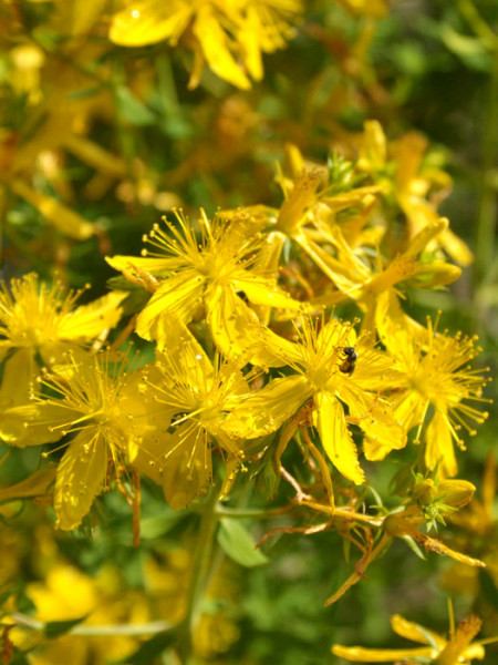 Die gelbe Blüte des Johanniskrauts
