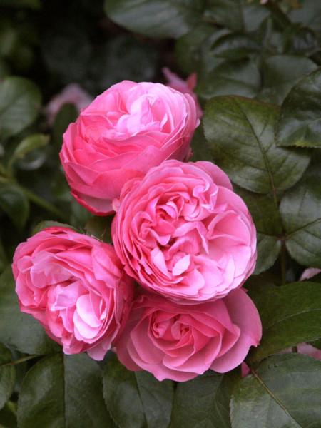 Blüte der Rose Leonardo da Vinci