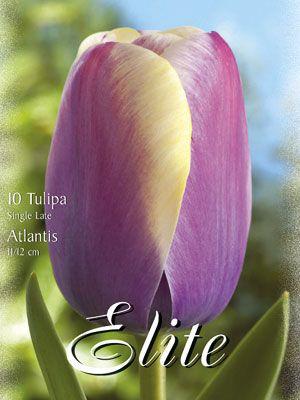 Einfache späte Tulpe 'Atlantis' (Art.Nr. 595340)