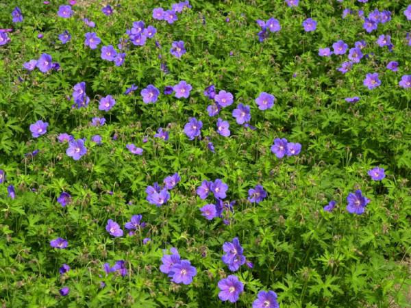 Geranium himalayense 'Gravetye', Himalaja-Storchschnabel, Wiesenstorchschnabel