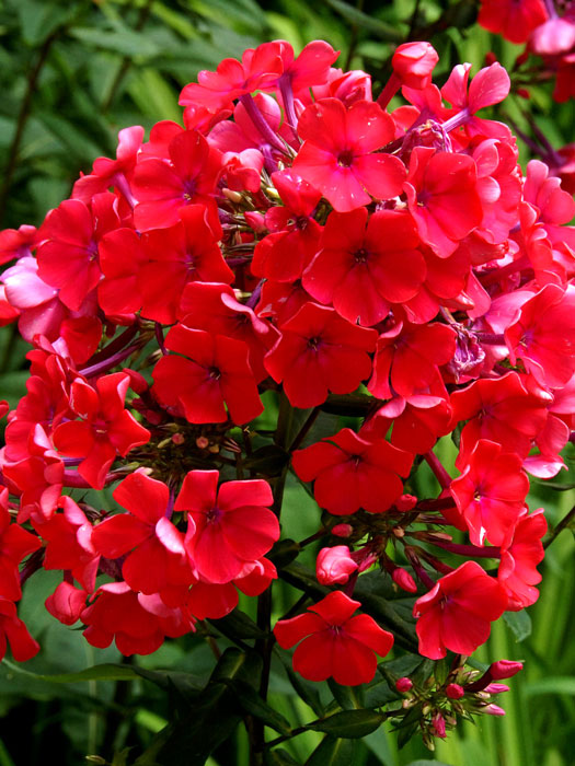phlox paniculata 39 starfire 39 sommerphlox. Black Bedroom Furniture Sets. Home Design Ideas