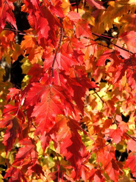 Nahaufnahme der Herbstfärbung des Feuerahorns