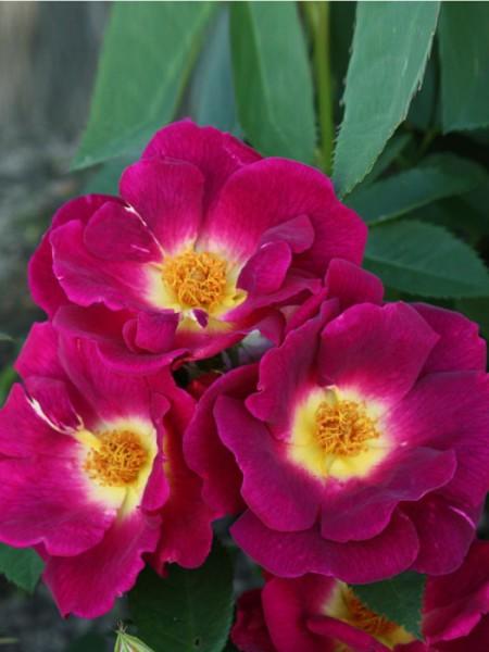 Blüte der Rose Weg der Sinne