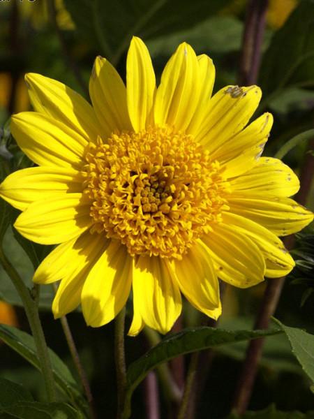 Helianthus decapetalus 'Capenoch Star', Stauden-Sonnenblume