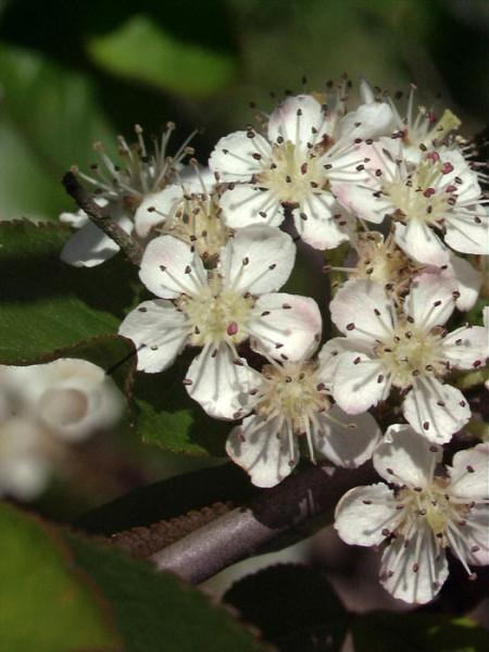 Zierliche Blüte der Apfelbeere 'Nero'
