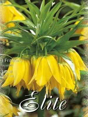 Kaiserkrone 'Lutea', Fritillaria (Art.Nr. 596754)
