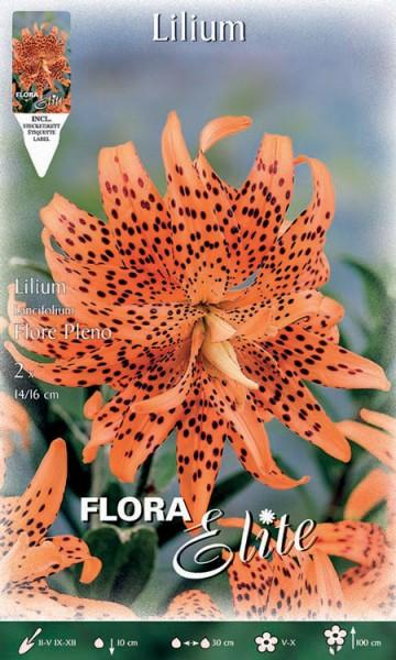 Lilie 'Flore Pleno', Lilium lancifolium (Art.Nr. 521790)