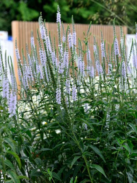 Veronica longifolia 'Schneeriesin', Langblättriger Garten-Ehrenpreis, Wiesen-Ehrenpreis