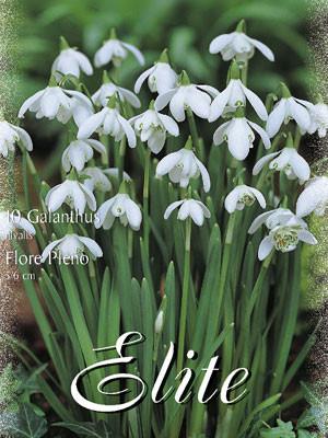 Schneeglöckchen 'Flore Pleno', Galanthus (Art.Nr. 596798)