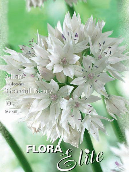 Allium 'Gracefull Beauty' (Art.Nr. 596301)