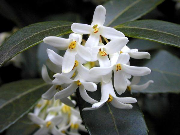 Osmanthus burkwoodii, Frühlings-Duftblüte