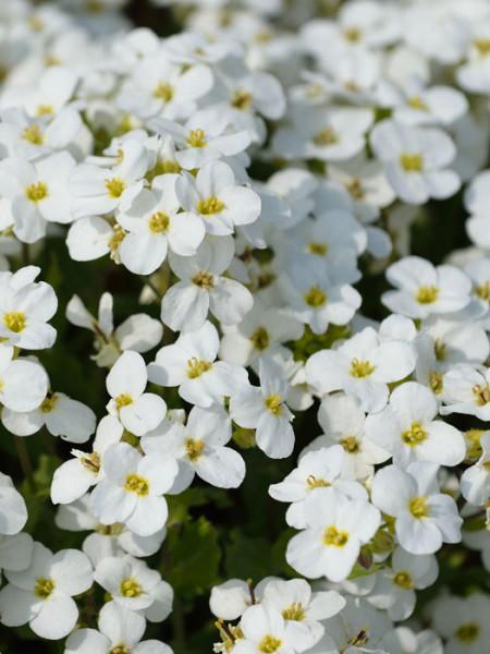 Blüte der Gänsekresse 'Schneehaube'