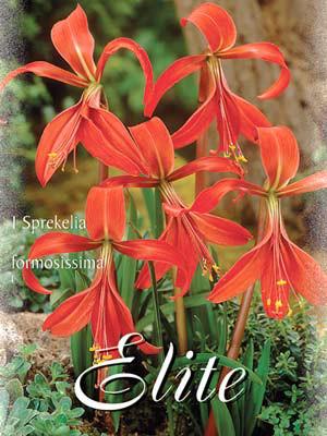 Jakobslilie, Sprekelia formosissima (Art.Nr. 522090)