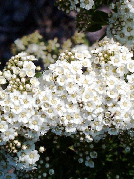 Japanische Strauchspiere Blüte