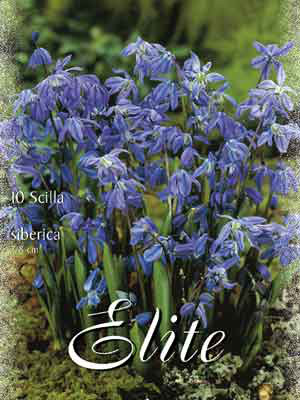 Blaustern, Skilla sibirica (Art.Nr. 597310)