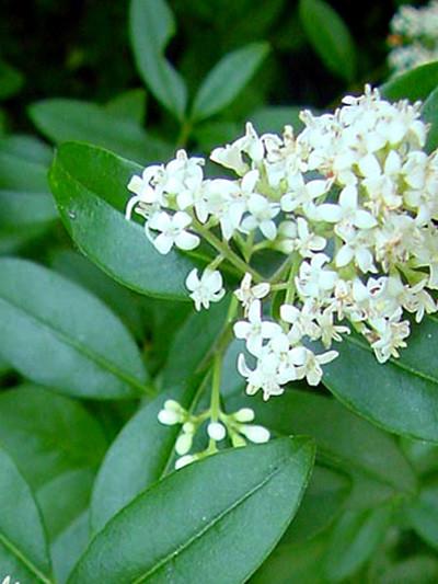 Blüte des ovalblättrigen Ligusters