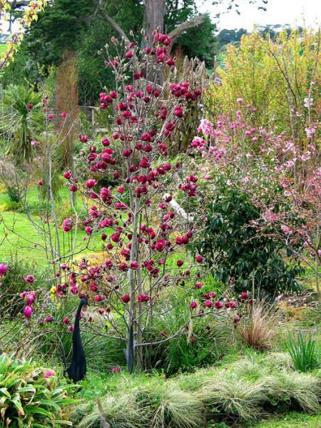 Magnolien-Hybride Genie