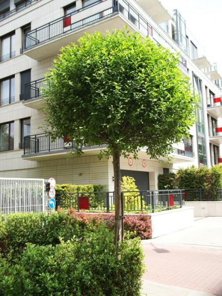 Prunus fruticosa 'Globosa', Kugel-Kirsche - XXL-Produkt