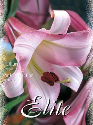 Trompeten-Lilie 'Pink Perfektion' (Art.Nr. 597048)