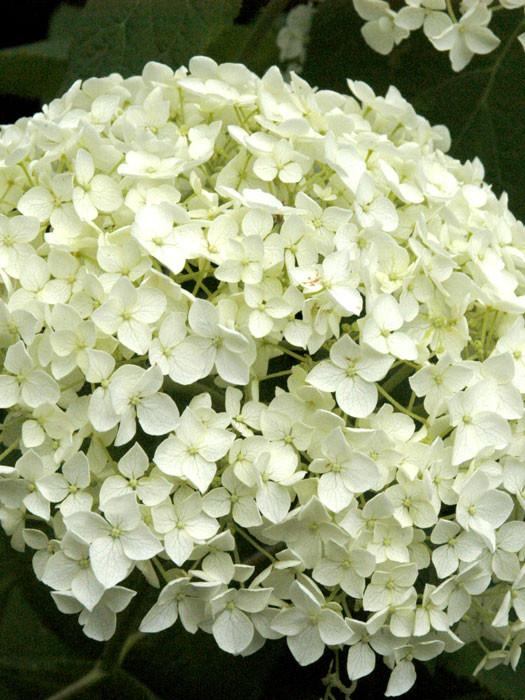 Hortensie Annabell hortensie annabelle hydrangea arborescens gartencenter shop24