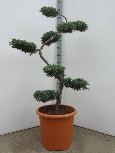 Juniperus squamata 'Blue Carpet' Bonsai-Form, XXL-Produkt