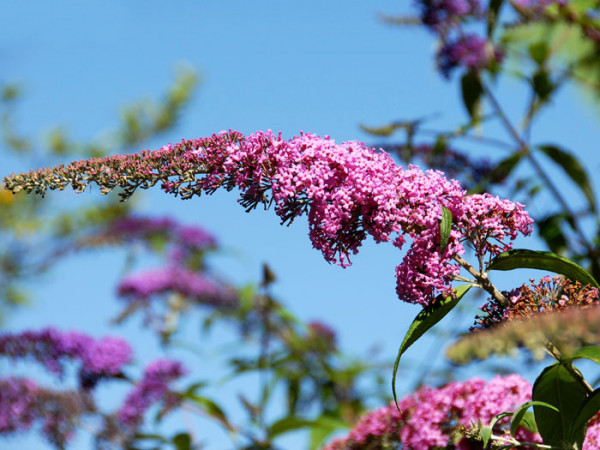 Blüte des Sommerflieders 'Pink Delight'