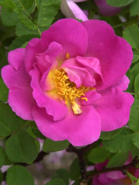 Blüte der Rose Marguerite Hilling